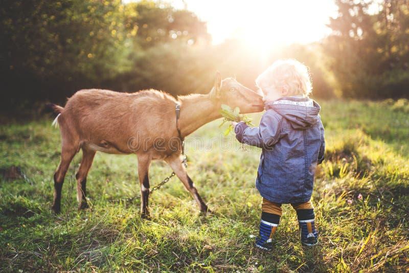 喂养山羊的一个小小孩男孩户外在草甸在日落 免版税库存图片