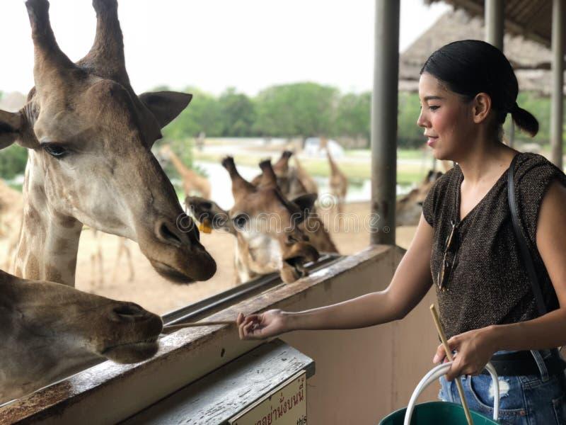 喂养新鲜蔬菜的一名亚裔妇女对小长颈鹿在动物园里 免版税库存照片
