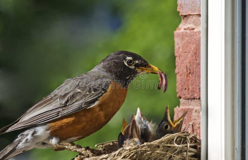 喂养母亲知更鸟的婴孩