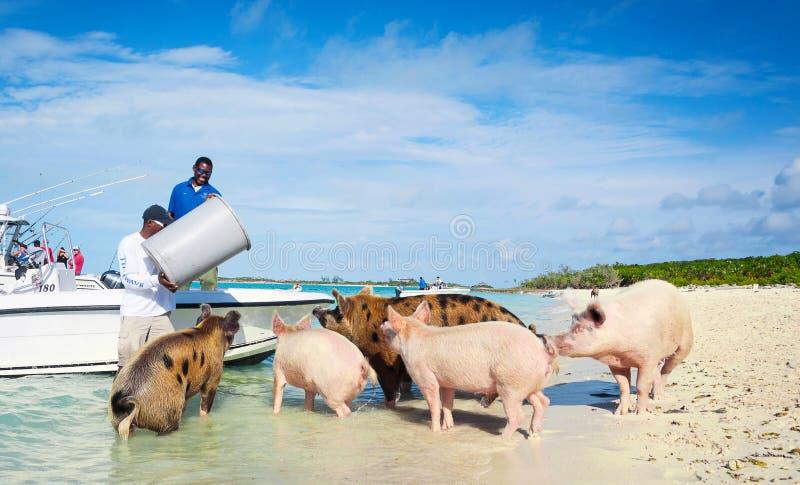 喂养野生Exuma猪的人们 图库摄影