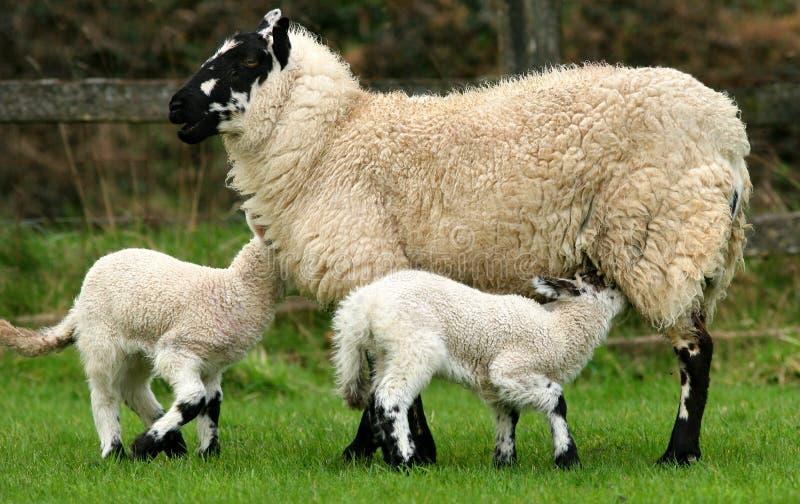 喂养饥饿的羊羔的乳房 免版税库存图片