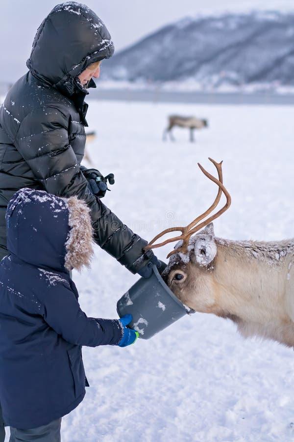 喂养驯鹿的游人在冬天 免版税库存照片