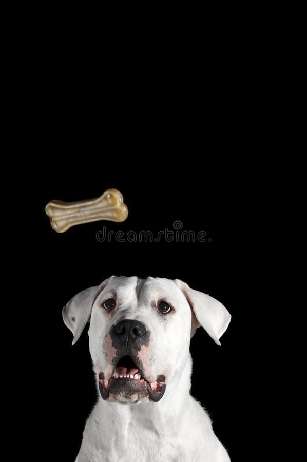 喂狗的硬饼干骨头 库存图片