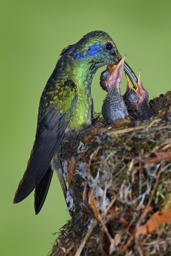 喂养在巢,绿色紫罗兰色耳朵, Colibri thalassinus, Savegre,哥斯达黎加的成人蜂鸟两只小鸡 免版税库存照片