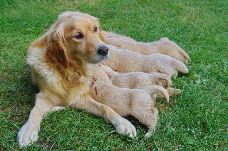 喂养她的小狗的金毛猎犬狗 免版税库存照片