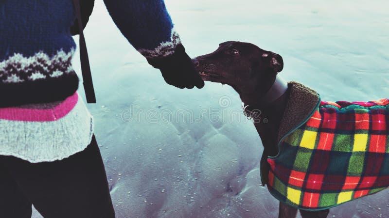 喂养她的狗,灵狮的无法认出的行家女孩,在海滩 库存图片