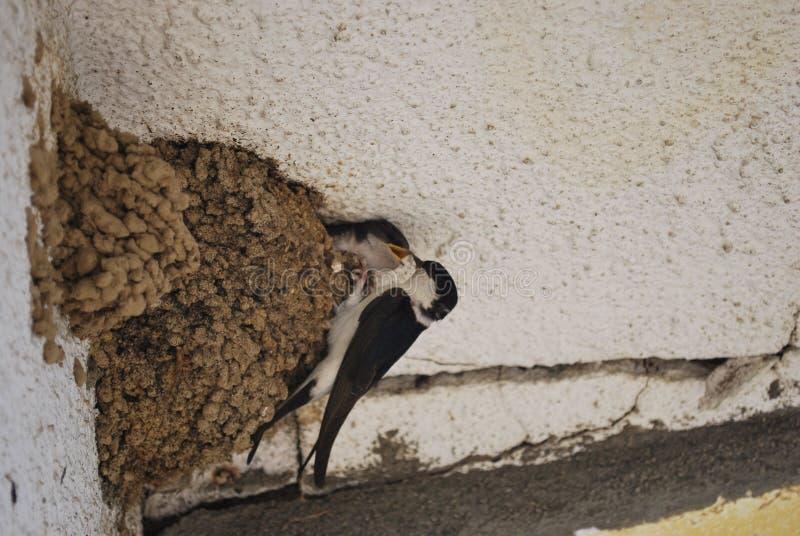 喂养我!过分要求的燕子小鸡乞求为食物 库存图片