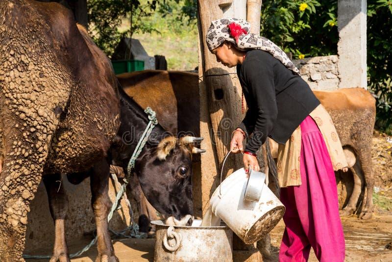 喂养母牛的Neplaese妇女 免版税库存照片