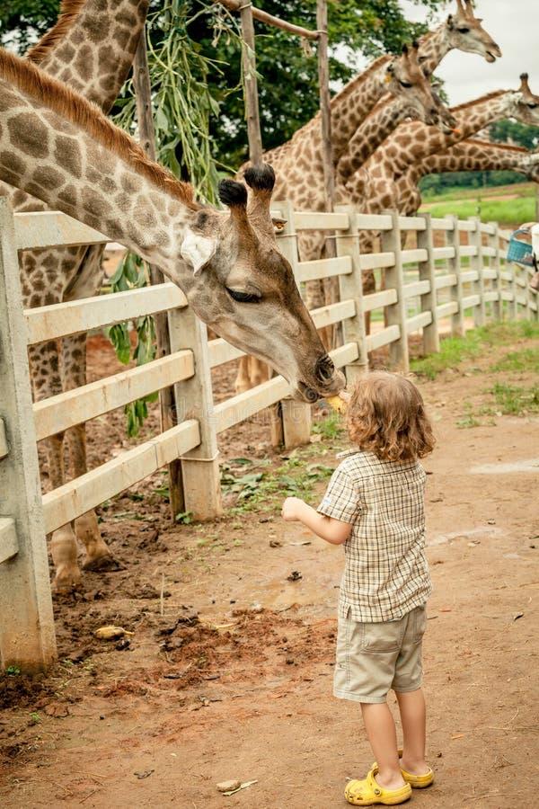 喂养长颈鹿的小男孩在动物园 库存图片