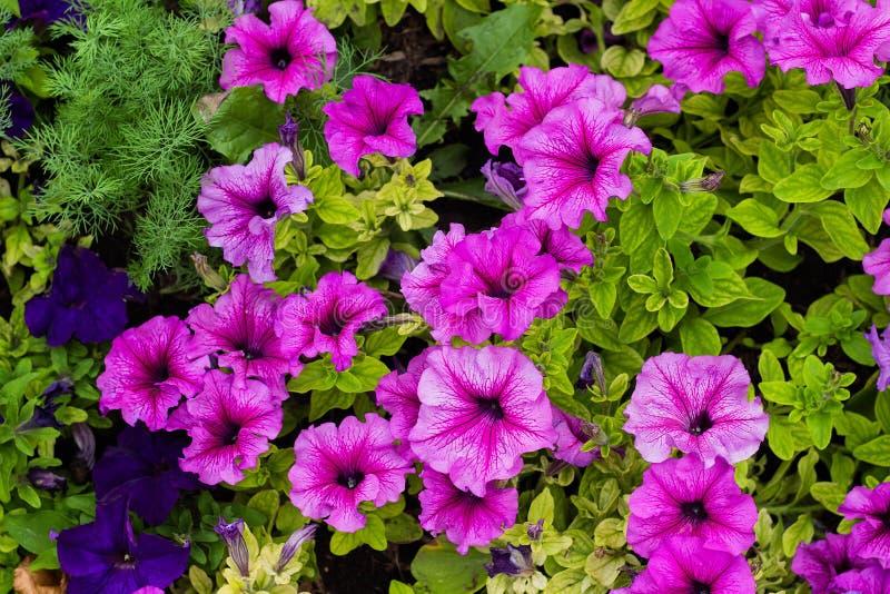 喇叭花五颜六色的开花的花在庭院里 免版税库存照片