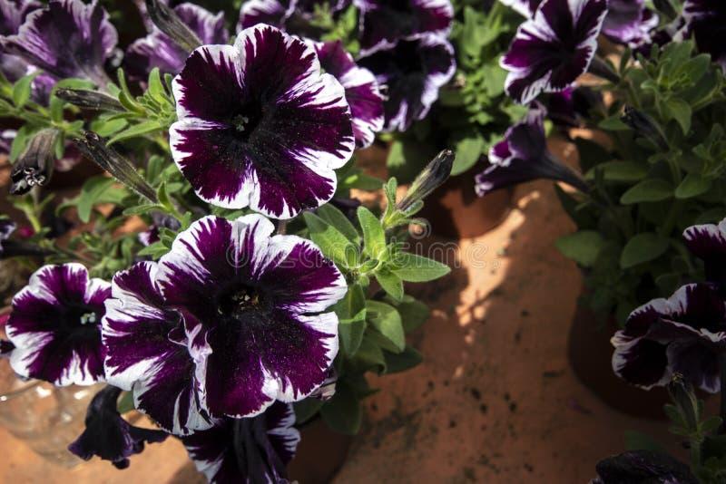 喇叭花埃默尔紫色植物特写镜头  免版税库存照片