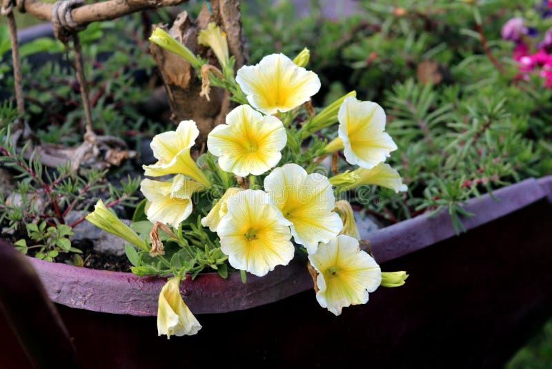 喇叭花容易的波浪黄色杂种花卉生长在金属篮子边缘  免版税库存照片
