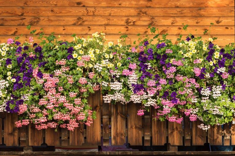 喇叭花开花,并且天竺葵开花开花 紫色,桃红色,白色,黄色绽放 免版税库存图片