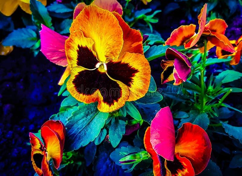 喇叭花是半灌木和草本多年生植物代表的类 免版税图库摄影