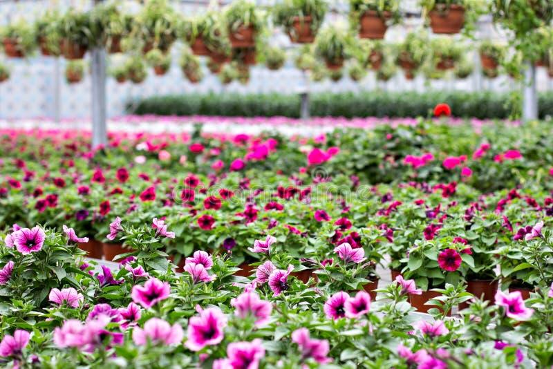 喇叭花是紫色的 图库摄影