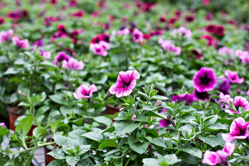 喇叭花是紫色的 库存照片