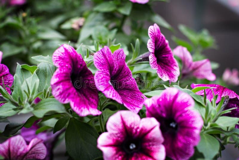 喇叭花是紫色的 库存图片