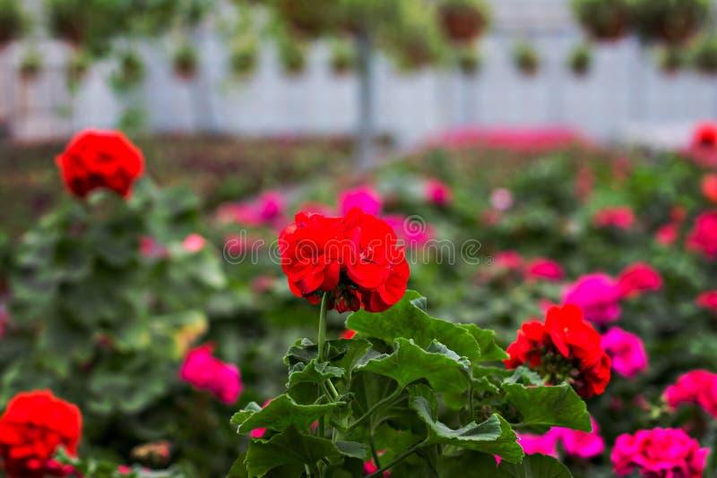 喇叭花是紫色的 免版税图库摄影