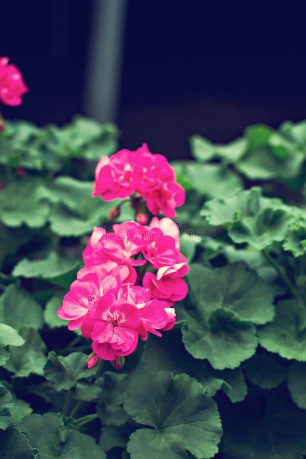 喇叭花是紫色的 免版税库存照片