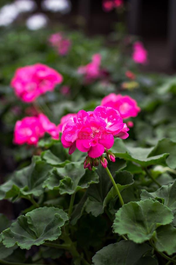 喇叭花是紫色的 免版税库存图片