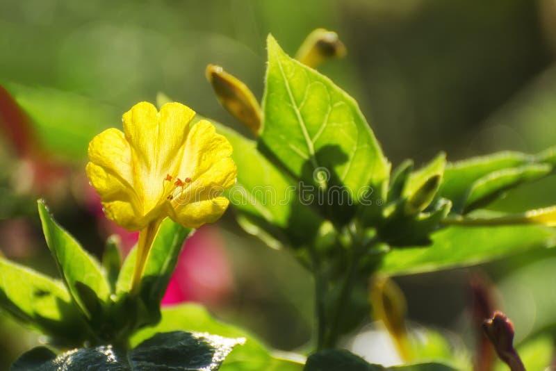 喇叭花绽放在庭院里在春天 免版税库存照片