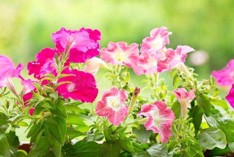 喇叭花花在庭院里 免版税库存图片