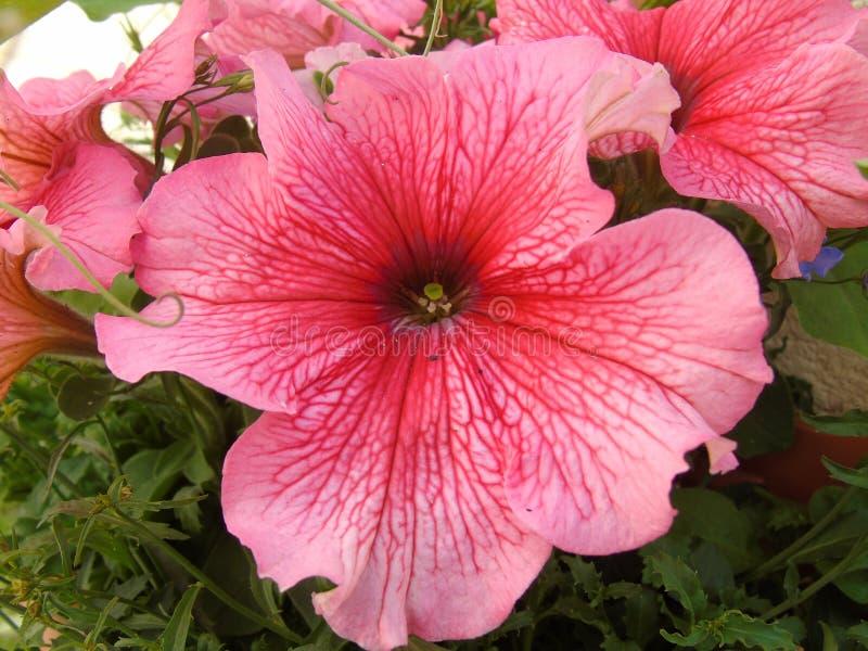 喇叭花Surfina在垂悬篮子接近的桃红色花 免版税库存图片