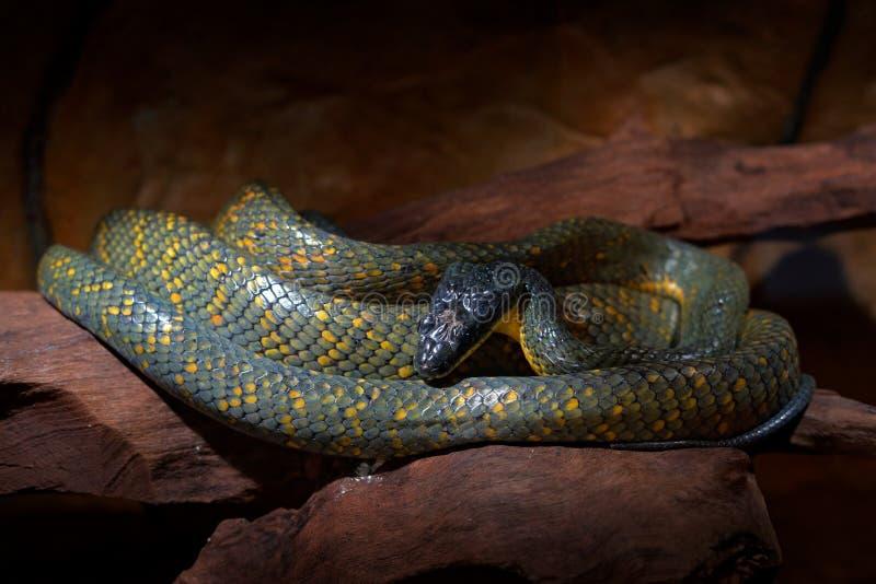 喘气的蛇, Pseustes poecilonotus,在黑暗的栖所 非毒蛇在自然栖所 从南Ameri的毒动物 库存图片