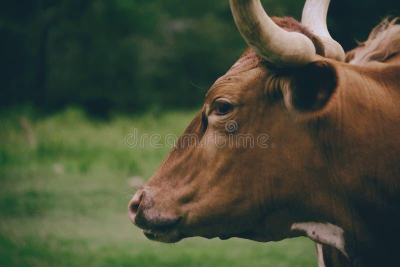 喜怒无常的长角牛画象关闭,外形视图 免版税库存照片