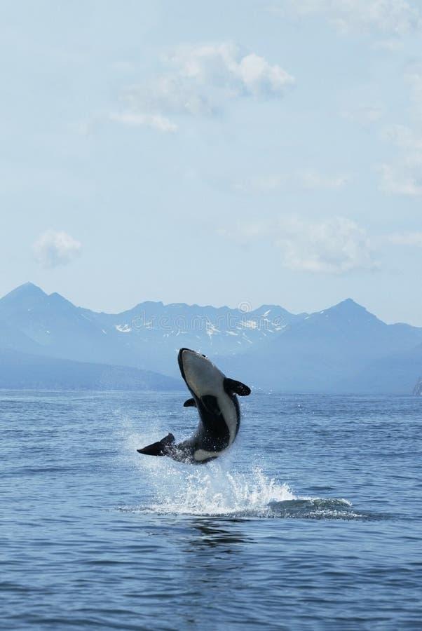 喜悦虎鲸 库存图片
