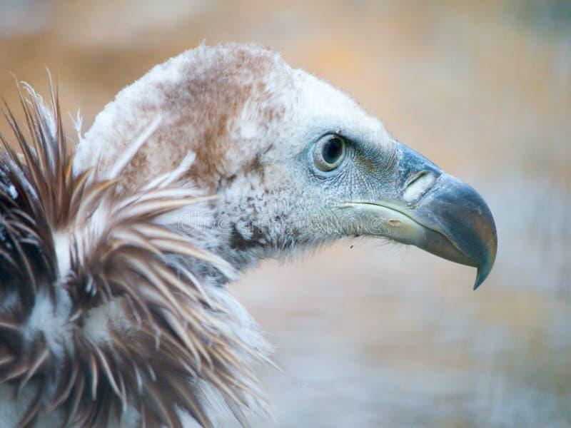 喜马拉雅兀鹫,欺骗himalayensis,特写镜头射击了独特的山净化剂鸟 免版税库存照片