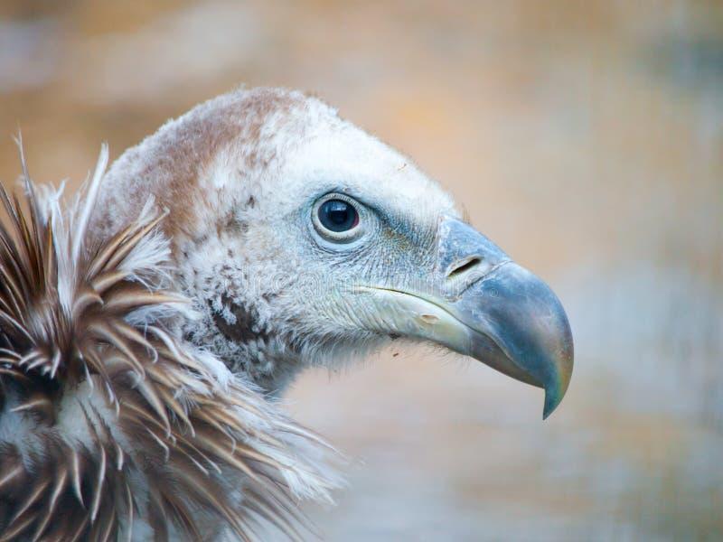 喜马拉雅兀鹫,欺骗himalayensis,特写镜头射击了独特的山净化剂鸟 库存图片
