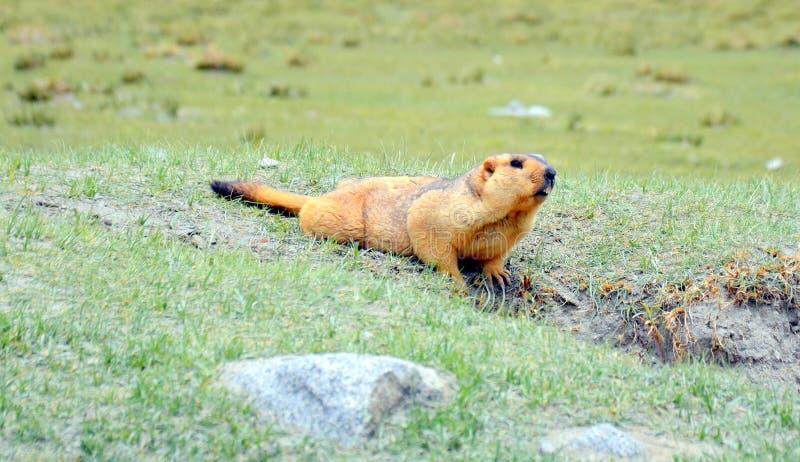 喜马拉雅土拨鼠在一片开放草原 免版税图库摄影