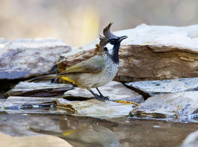 喜马拉雅山Witoorbulbul,喜马拉雅歌手, Pycnonotus leucogenys 免版税图库摄影