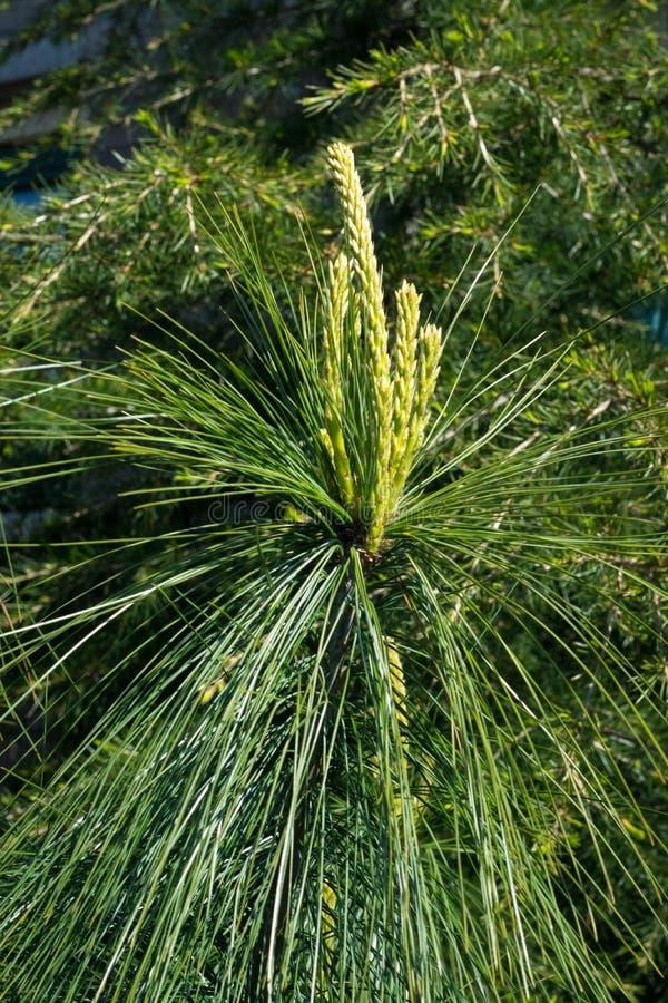 喜马拉雅杉木松属wallichiana新的成长在庭院里 免版税库存照片
