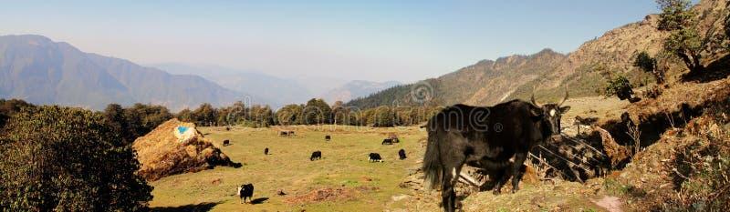 喜马拉雅牦牛 免版税库存照片