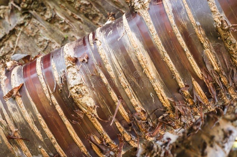 喜马拉雅白桦树皮樱桃树关闭 免版税库存图片