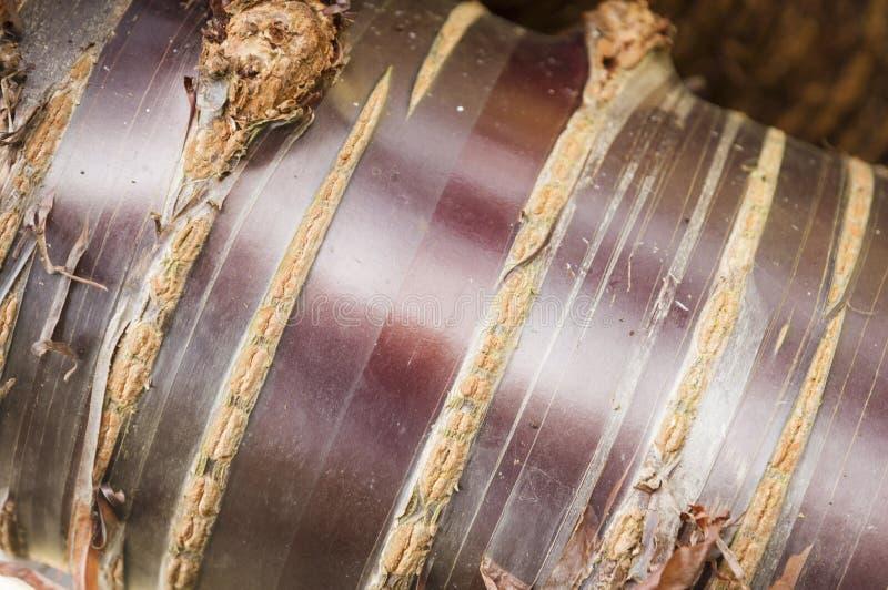 喜马拉雅白桦树皮樱桃树 免版税库存照片