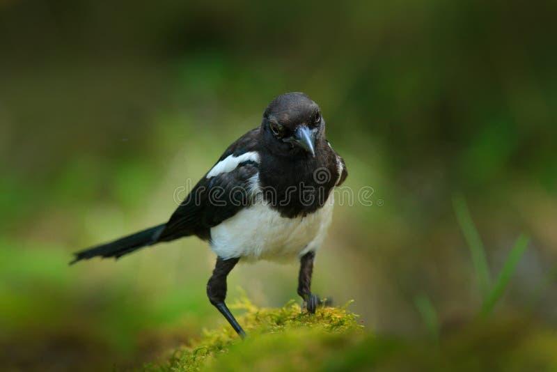 喜鹊或共同的鹊, 12点活字12点活字,与长尾巴的黑白鸟,在自然栖所,清楚的背景,德国 库存图片