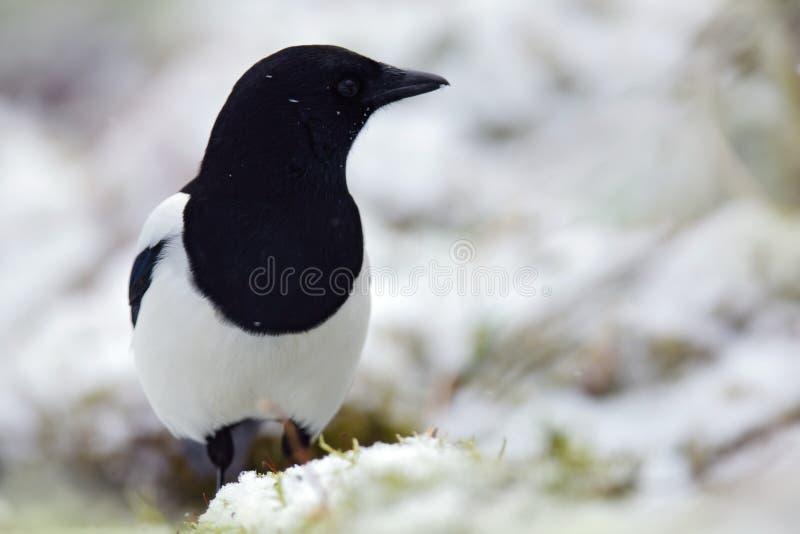 喜鹊或共同的鹊, 12点活字12点活字,与长尾巴的黑白鸟,在自然栖所,与雪的冬天场面, G 库存图片