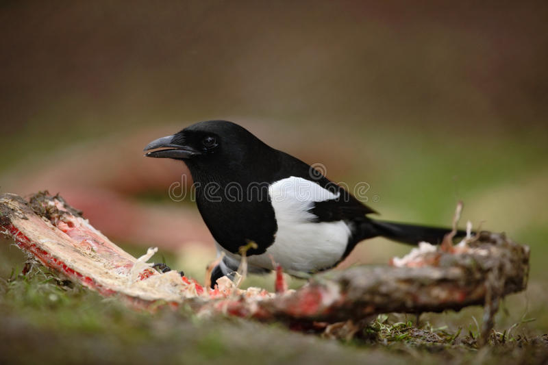 喜鹊或共同的鹊, 12点活字12点活字,与长尾巴的黑白鸟,在自然栖所,哺养的血淋淋的肋骨, Germa 库存图片