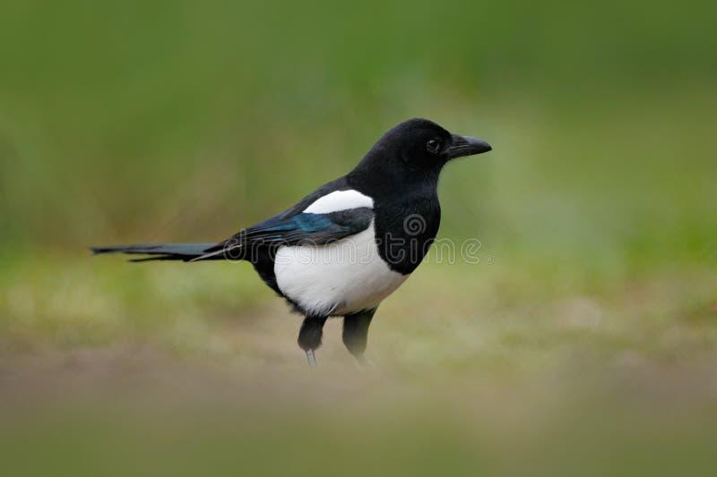 喜鹊或共同的鹊, 12点活字12点活字,与长尾巴的黑白鸟,在自然栖所,清楚的背景,德国 库存照片