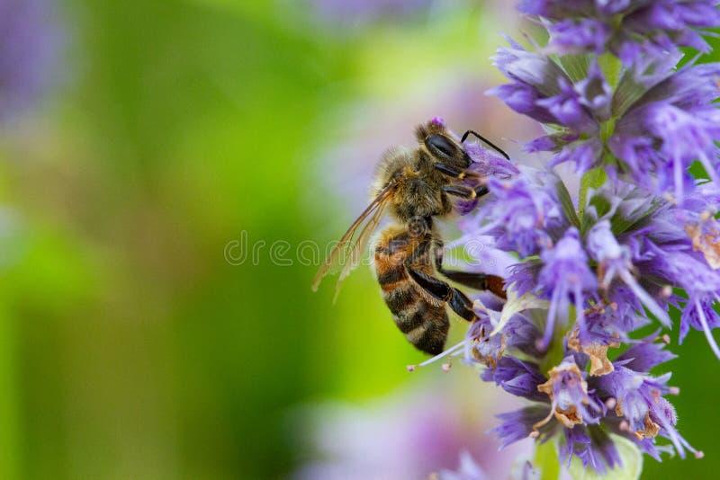 喝从与拷贝空间的一朵花的蜂蜜蜂 库存照片