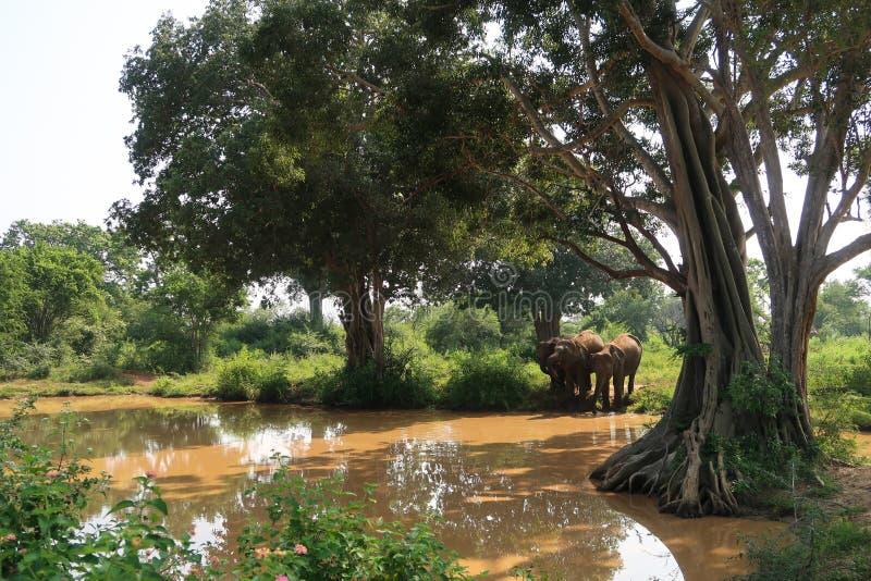 喝从在udawalawe国立公园,斯里兰卡里面的一个水坑的三头大象 库存图片