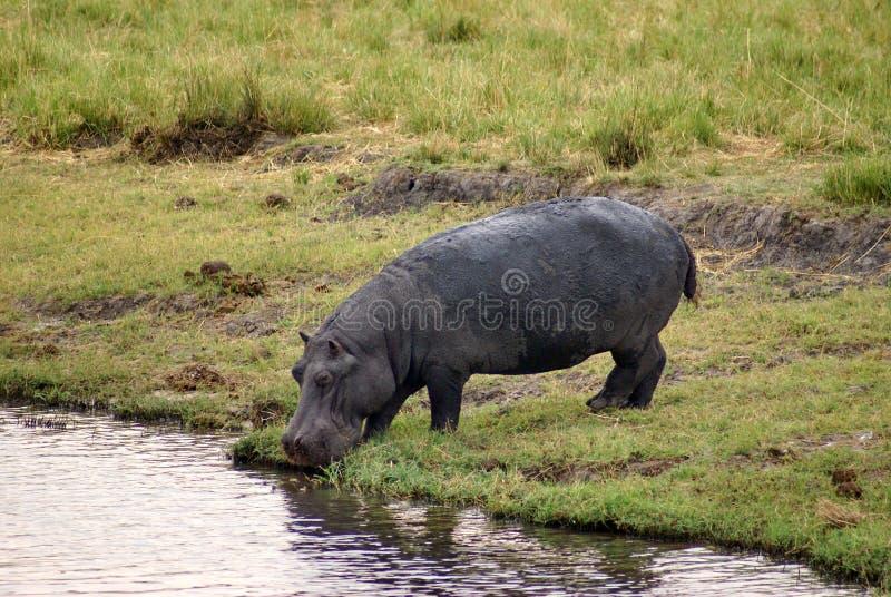 喝从河的河马在博茨瓦纳 免版税图库摄影