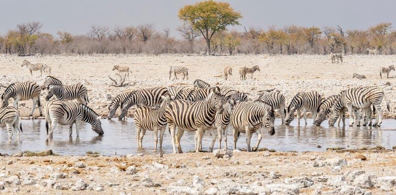 喝在一waterhole的斑马在埃托沙国家公园,纳米比亚 免版税库存照片