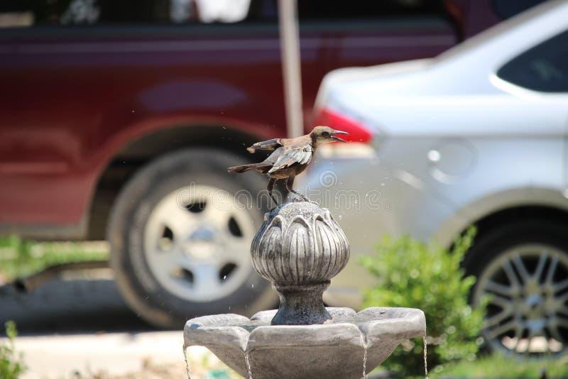 喝在喷泉的鸟 免版税图库摄影