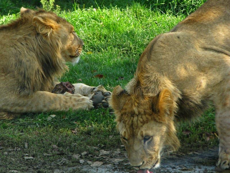 喝在水坑的狮子自豪感 免版税库存照片