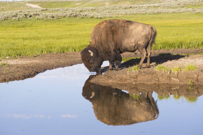 喝从一个清楚的蓝色湖的狂放的北美野牛。 免版税图库摄影