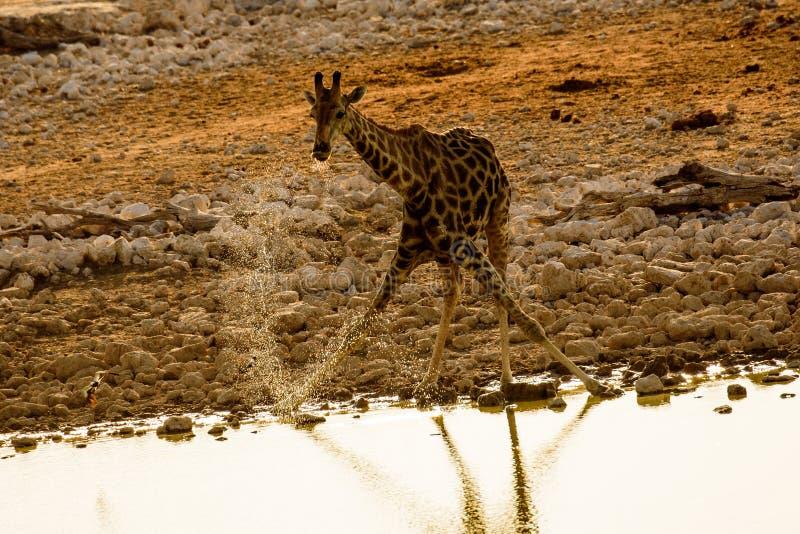 喝从waterhole的水的长颈鹿 免版税库存图片